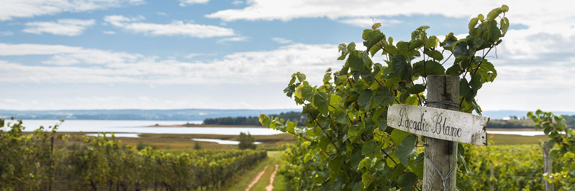 L'Acadie grape in field - key ingredient in Tidal Bay.