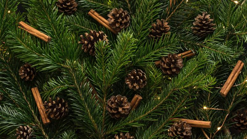 Close up image of pine tree with pine cones